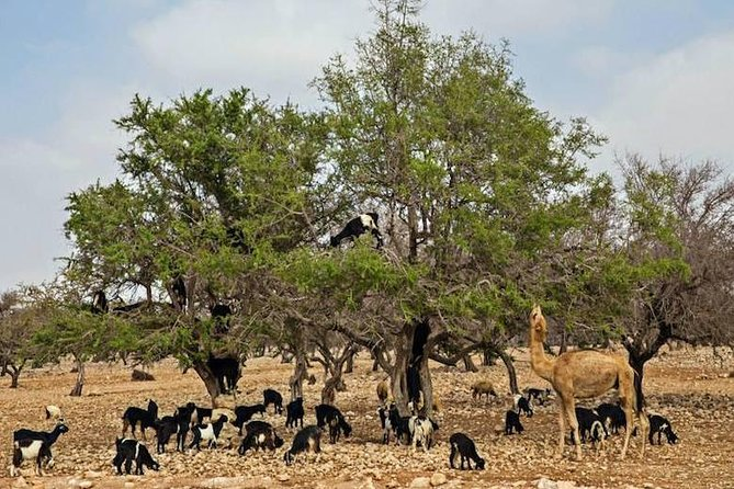 Goats On the Tree - Agadir