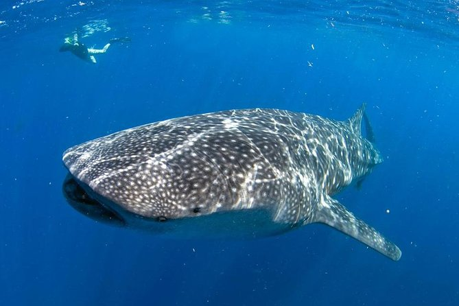Snorkeling with Whale Sharks in Cancun