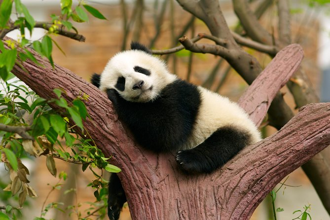 プライベートツアー:中国パンダ保護研究センター都江堰基地でパンダのボランティアを体験する1日