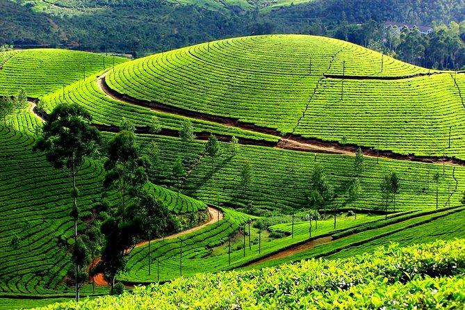 Privater Tagesausflug nach Munnar von Kochi (Cochin)