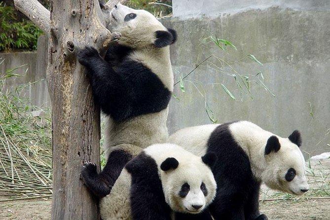 Private Chengdu Day Tour: Giant Pandas and Jinsha Site Museum