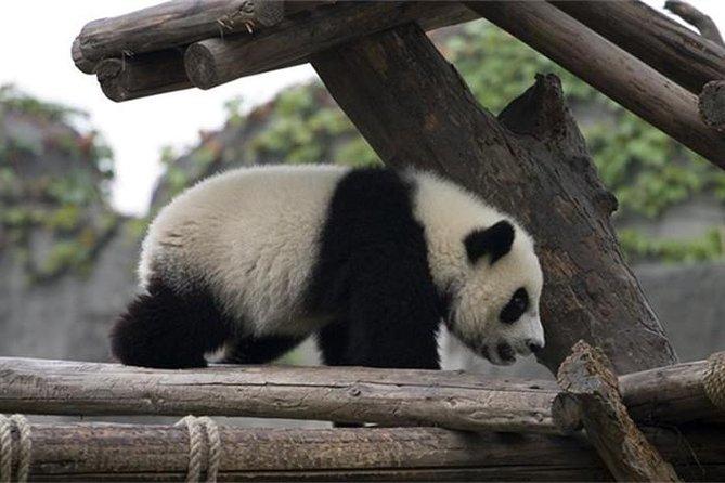 小グループ最大7人の旅行者Chengdu Panda Tour with Traditional Lanes:成都パンダ繁殖 - 成里街 - クアンザイの成都研究拠点