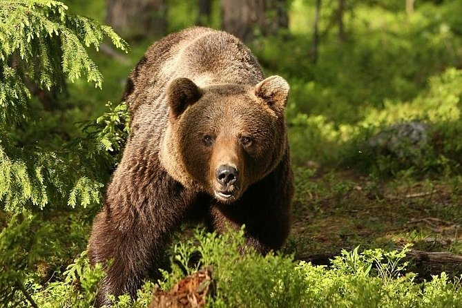 Bear Watching in Transylvania 2-Day Tour