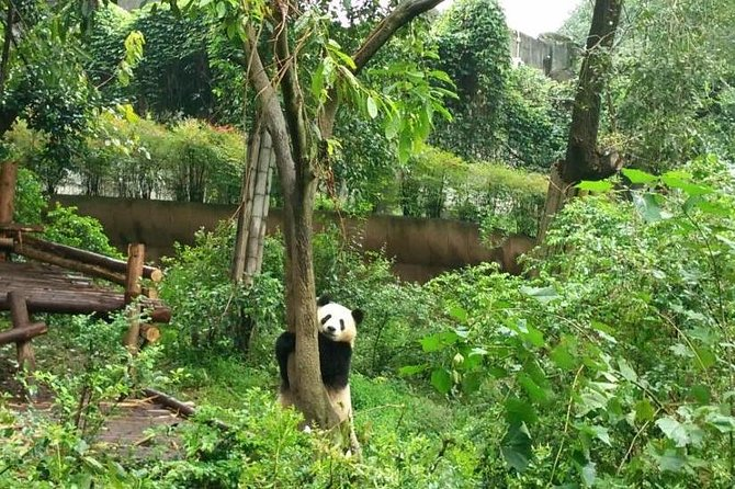 Chengdu Customized Experience: Giant Pandas and Buddha Statue In One Day photo 3