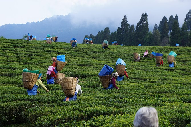 Private Tea Plucking and Tea factory tour from Nuwara Eliya
