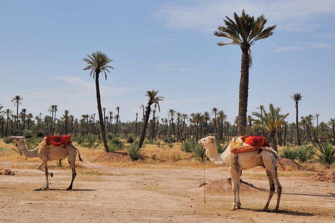 Palmeraie Sunset Camel Ride Ervaring vanuit Marrakech