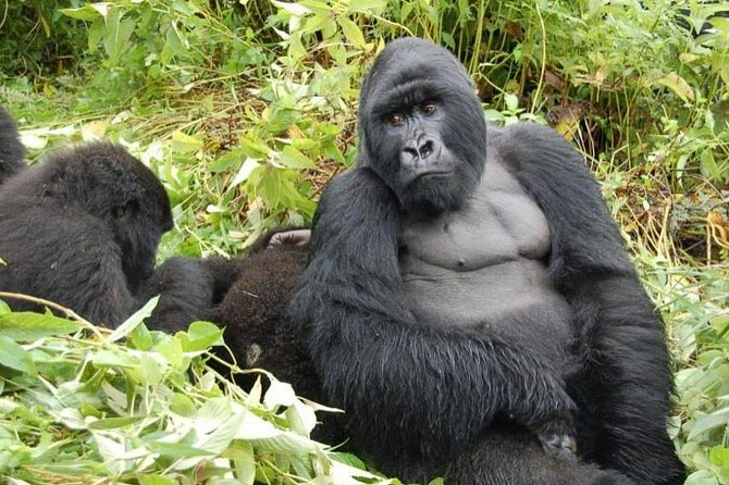 5 Day Cozy Encounter with Volcano Silverback Mountain Gorillas and Avifaunal Rambling in the Rugezi Marsh of Rwanda