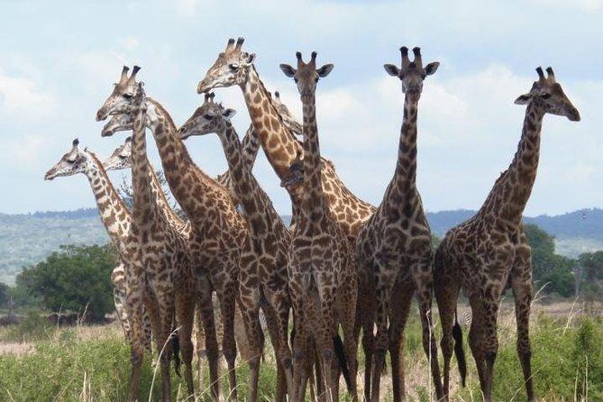 Giraffe seen in Mikumi