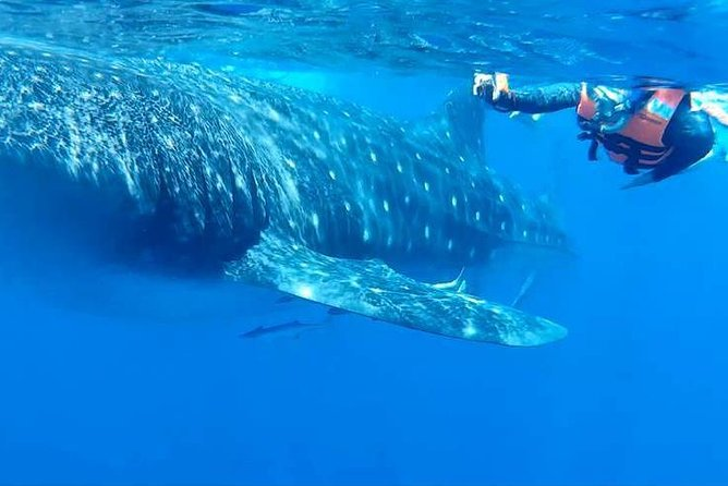 Swim with Whale Sharks Tour from Isla Mujeres and Cancun