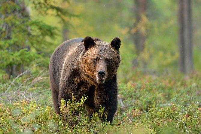Experiencia de avistamientos de osos para grupos pequeños desde Brașov