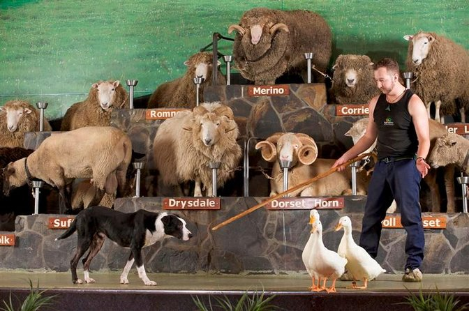 Tauranga Shore Excursion: Agrodome Farm Show and Rotorua Geothermals