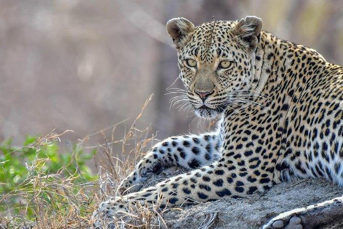 Female Leopard close up