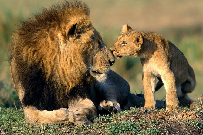 See lions in Mikumi National Park.
