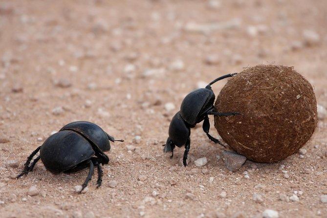 Flightless dung beetle found in Addo