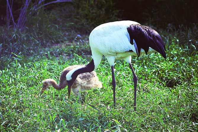 Japanese Red-Crowned Crane Observation Tour Summer - March to October - photo 2
