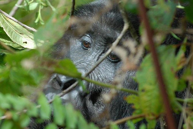 4 Days Gorilla Safari Uganda