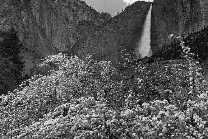 Yosemite Falls, Apple Blossoms, by Ansel Adams