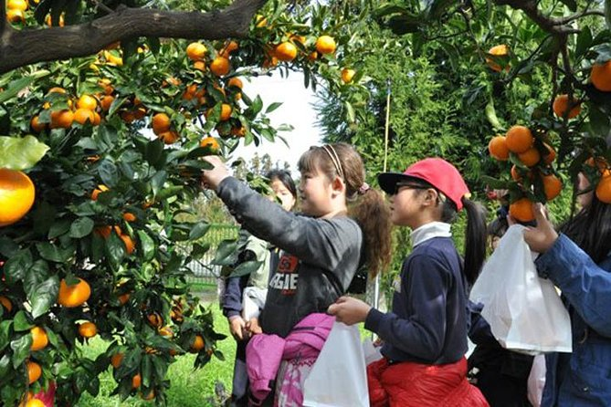 Mandarin Orange picking in Osaka - All you can eat, No time limit !