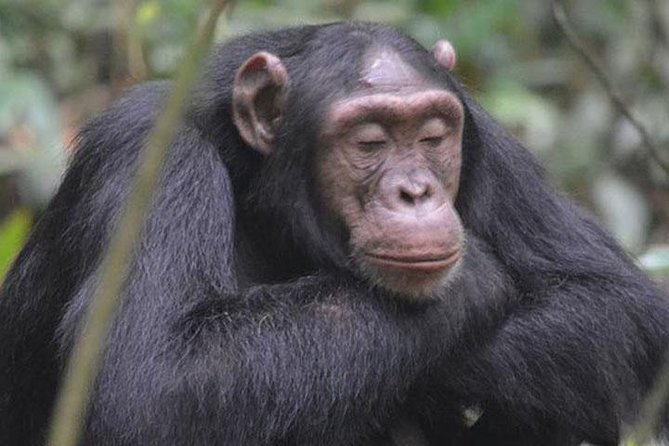 1 day Chimpanzee Tracking Tour in Budongo Forest