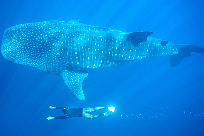 Full-Day Whale Shark Experience fra Cabo San Lucas