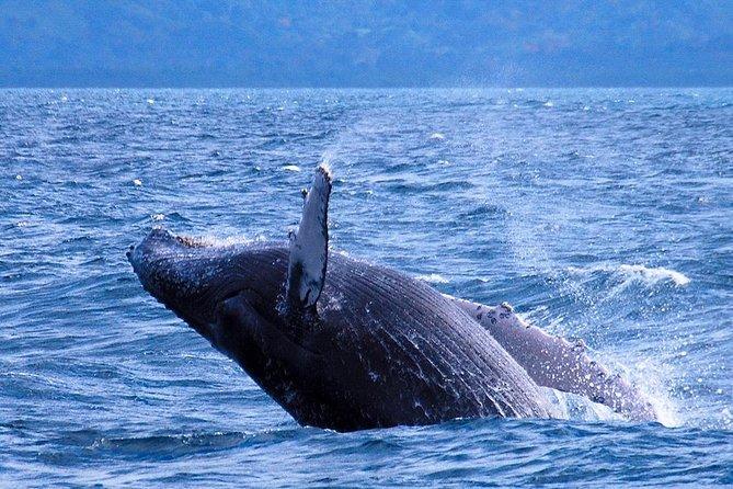 Samana Whale Watching fra Punta Cana