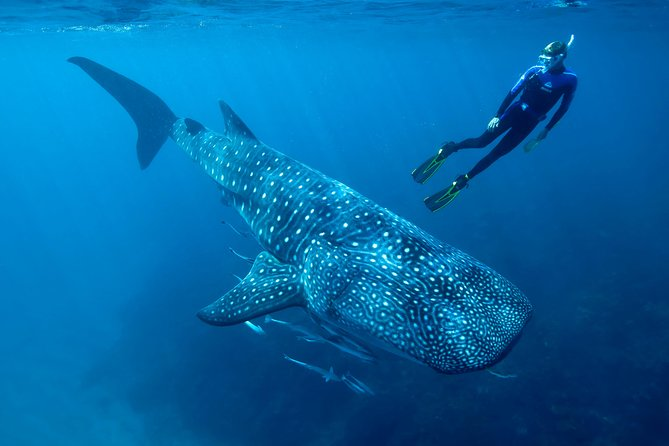 Whale Shark Swimming in Cancun