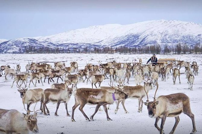 Reindeer Sledding Experience and Sami Culture Tour from Tromso