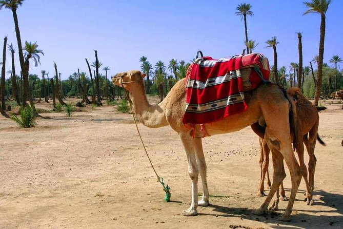 Two Hour Camel Ride in Palmaerie from Marrakech