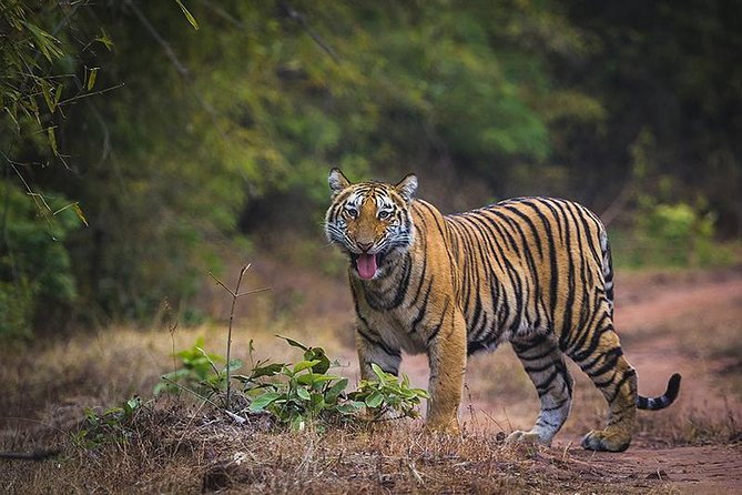 Tiger Safari at Bandhavgarh National Park