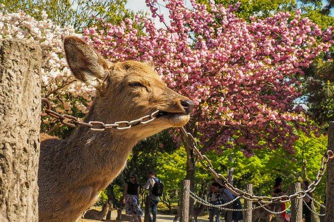 Cherry Blossom Secrets - Sakura In Osaka