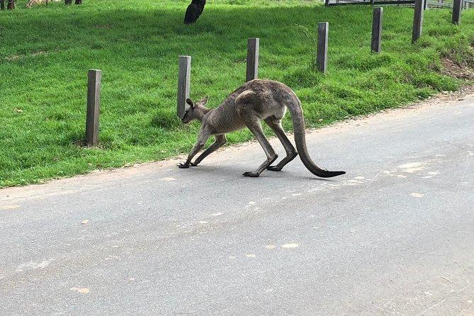The wild Kangaroos are very close