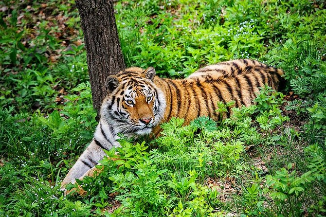 Amazing Safari Park with Siberian Amur Tiger Watching Private Tour