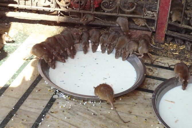 Rat temple visit at Deshnok Village Bikaner