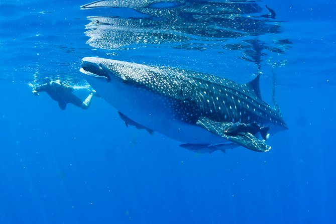 Swim with Whale Sharks from Playa del Carmen photo 3