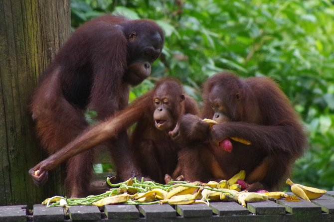 Private Full Day Sepilok Orang Utan, Bornean Sun Bear and Rainforest Discovery Center Tour