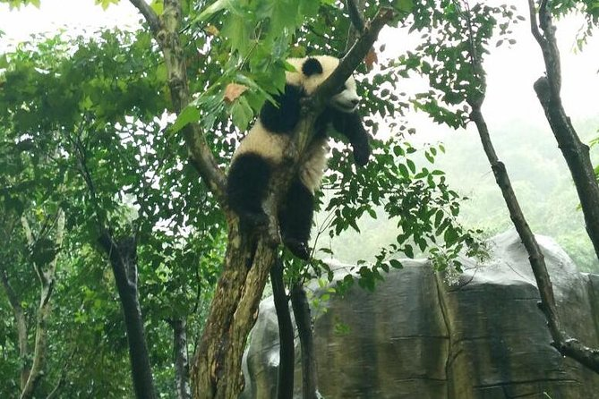 4-Hour Giant Panda Experience Private Tour With Morning Departure
