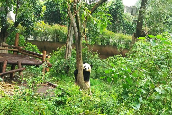 Chengdu Private Panda Trip with Afternoon Private Custom Tour photo 8