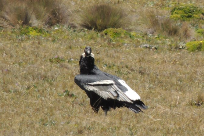 Antisana Volcano and Condors Watching Private Day Tour