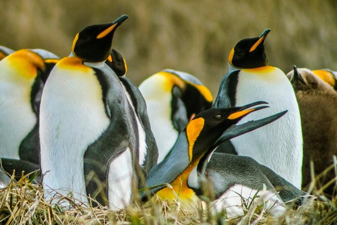 King Penguin & Tierra del Fuego Tour