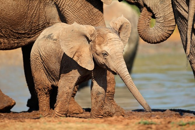 See African Elephant and Big 5 roaming in Addo Elephant National Park Tours