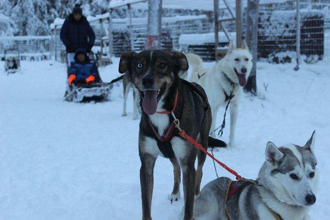 Husky Safari 7km and Authentic Reindeer Farm Visit