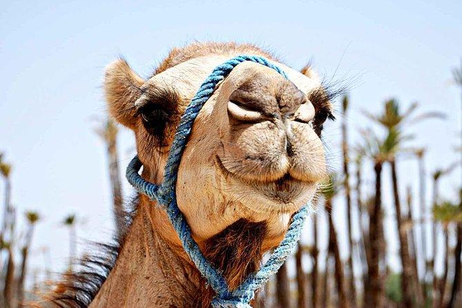 Best Sunset Camel Ride with tea break in Palm Grove of Marrakech
