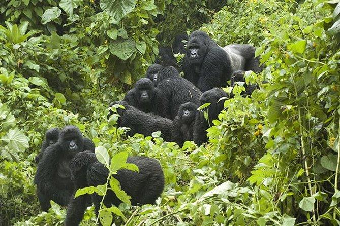 3 days Gorilla Tracking in Bwindi Inpenetrable national Park