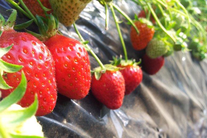 [Private Tour] Strawberry Farm & Nami Island(More Members Less Cost per Person)