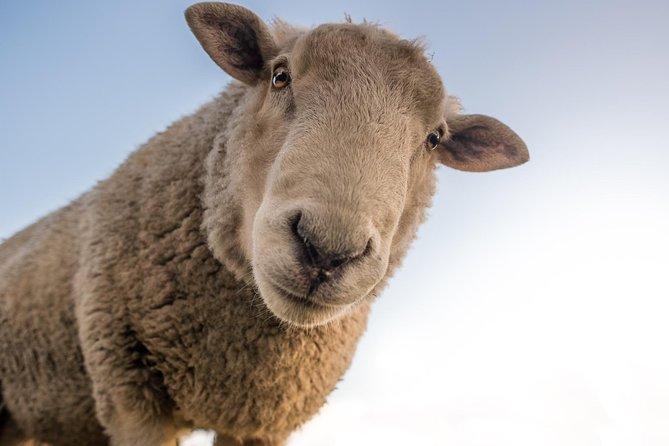 1 Great Day - Schafe scheren, preisgekrönte Weine probieren, Manuka Honig, Lunch