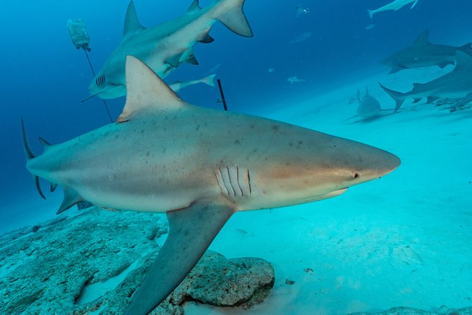 Diving with Bull Sharks from Playa del Carmen