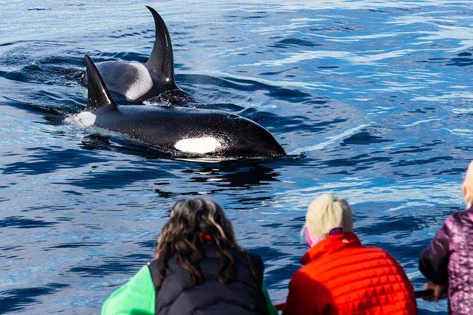 Experience rare orcas