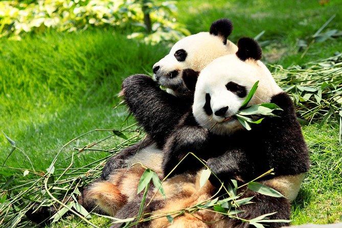 Excursion d'une journée: centre de reproduction des pandas de Chengdu et Grand Bouddha de Leshan