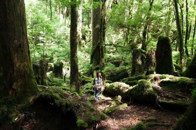 Yakusugi Cedar Forest Walking Tour on Yakushima Island