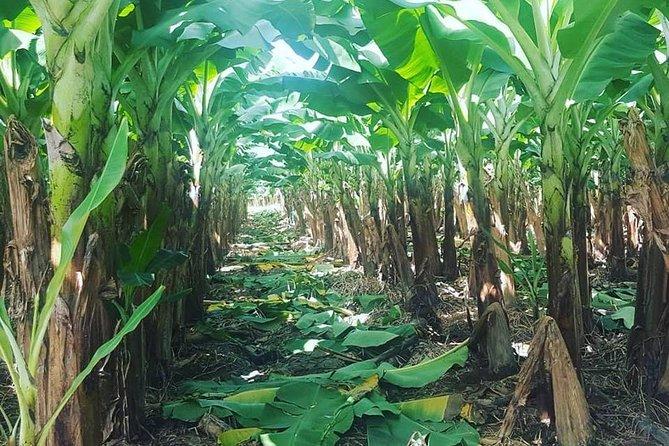 The banana farm